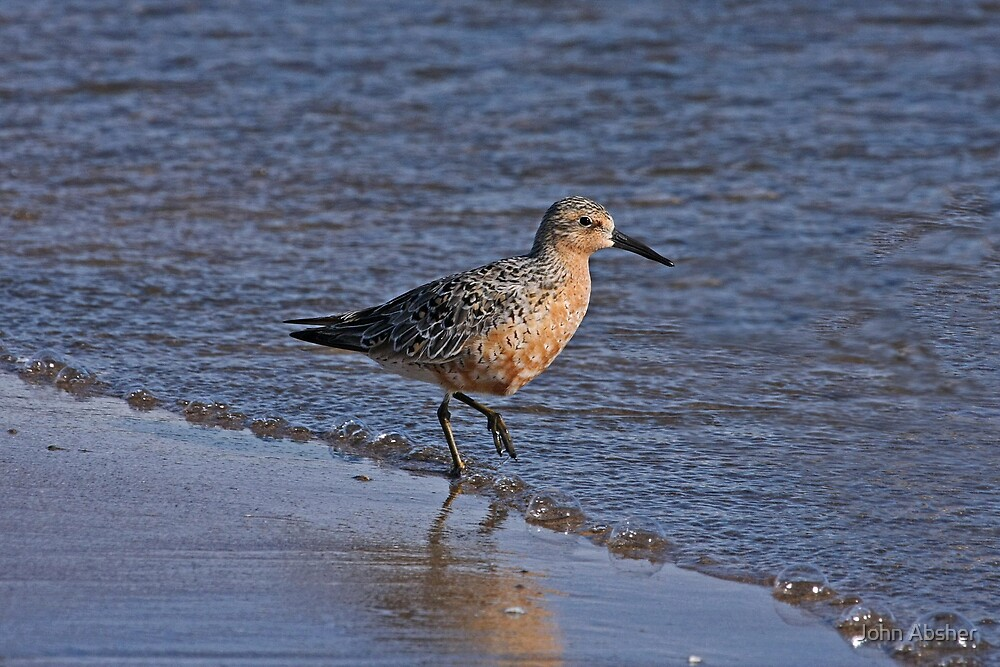Red Knot by John Absher