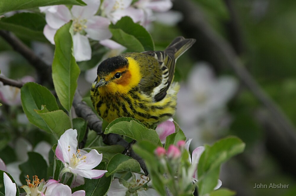 Cape May Warbler by John Absher