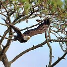 Eagle Takes Off From Tree by TJ Baccari Photography