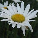 Delicate Daisy by CassPics
