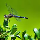 Blue Dragonfly by TJ Baccari Photography