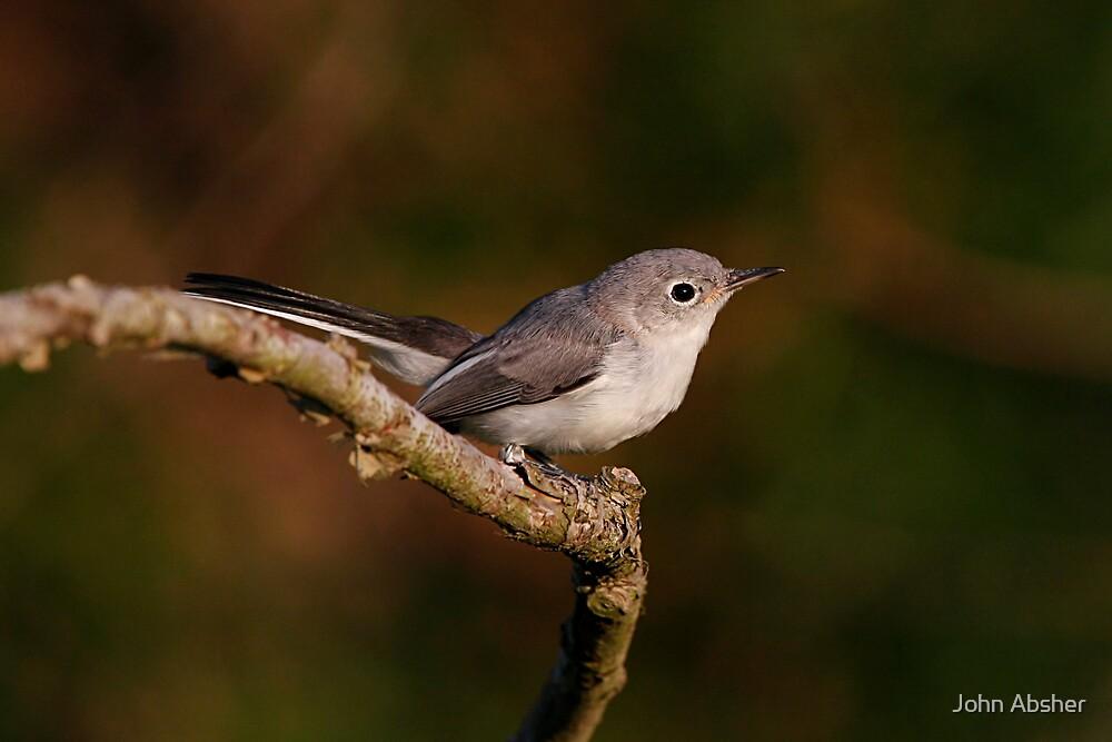 Blue Gray Gnat Catcher by John Absher
