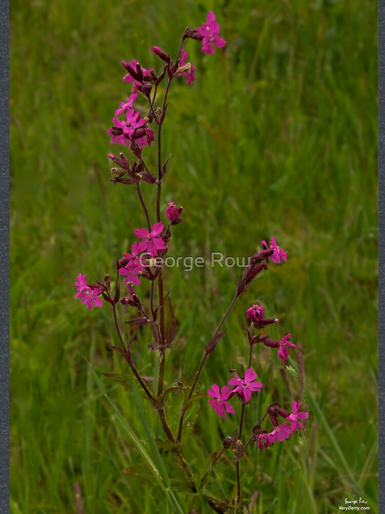 Red Campion in Burntollet Woods by VeryIreland