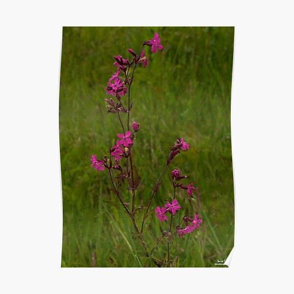 Red Campion in Burntollet Woods Poster