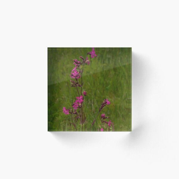 Red Campion in Burntollet Woods Acrylic Block