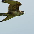 Brown Falcon from the Silver Falcon 4 by Biggzie