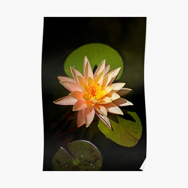 Water Lily in Pond Poster