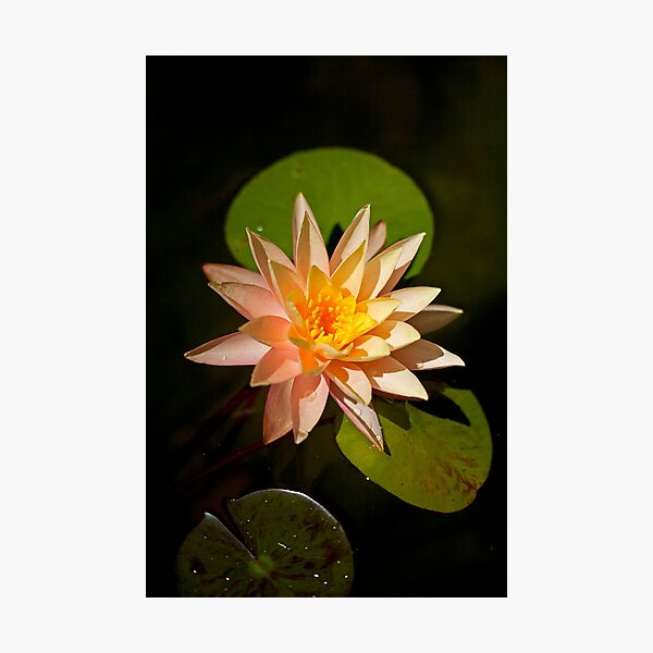 Water Lily in Pond Photographic Print