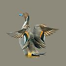 Pintail Duck in a flap by Dave  Knowles