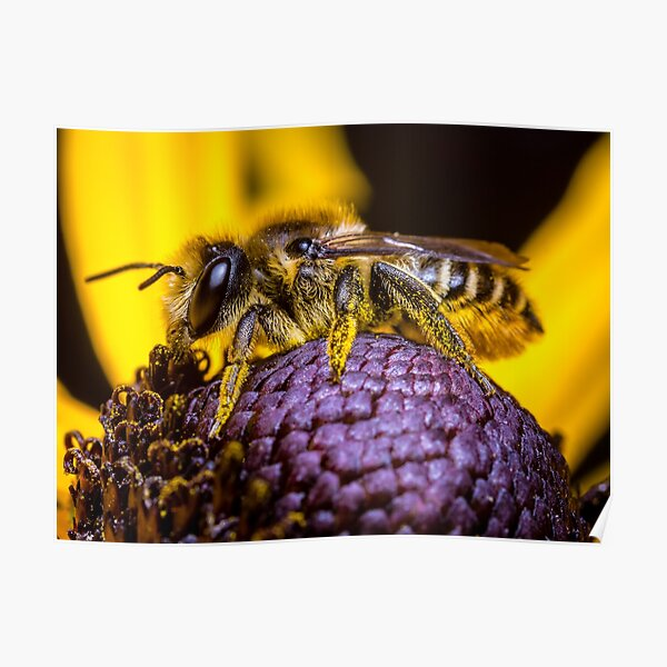 A Honey Bee collecting pollen. Poster