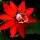 Pasiflora Coccinea - Passion Flower by Guy C. André Tschiderer