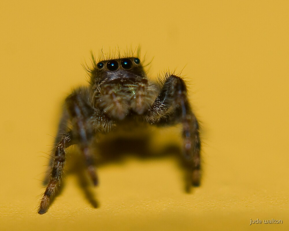 jumping spider, yellow wall by jude walton