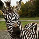 Grant Zebra by JaneTara Oliver