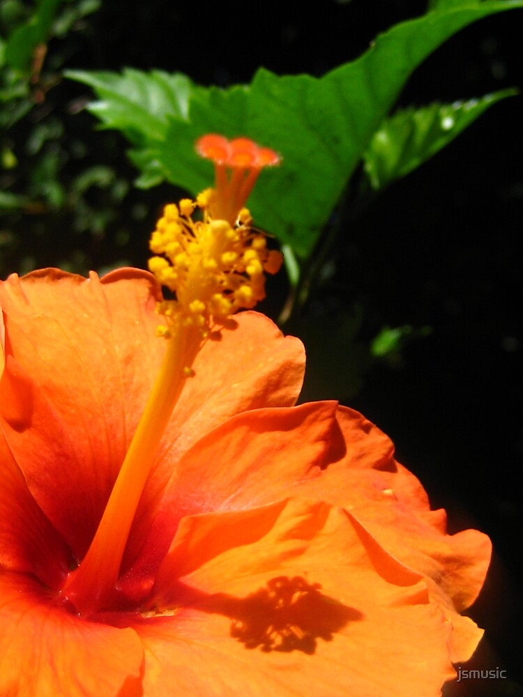 Orange Hibiscus from my Garden by jsmusic