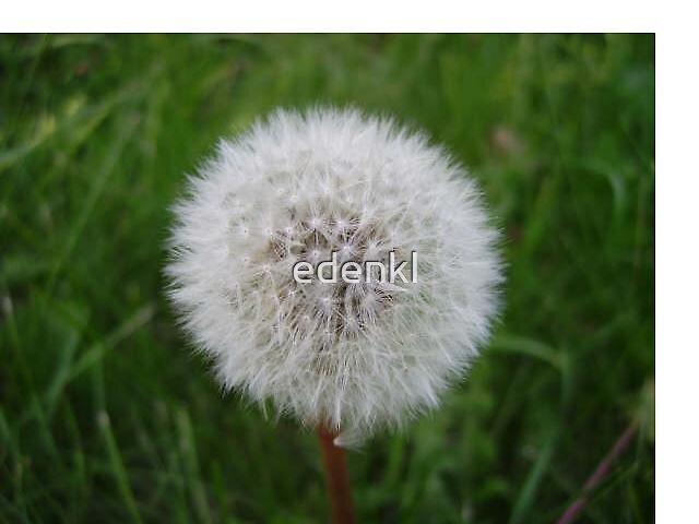 Dandelion in Seed by edenkl