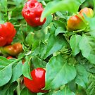 My Favorite Fruit - Hot Peppers by Donna Adamski