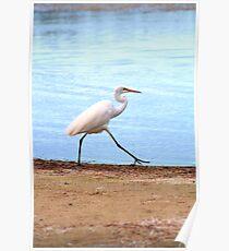 Waterbird hunting, Narrabeen Lakes Poster
