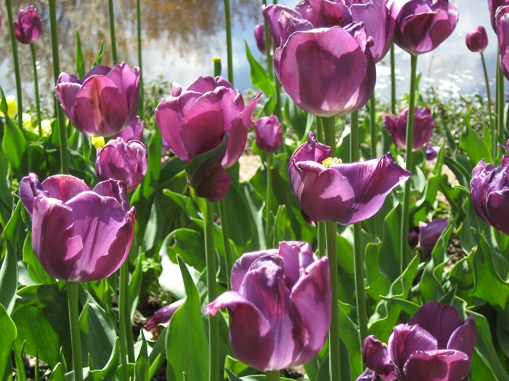 Purple Tulips by a Pond by DPrior