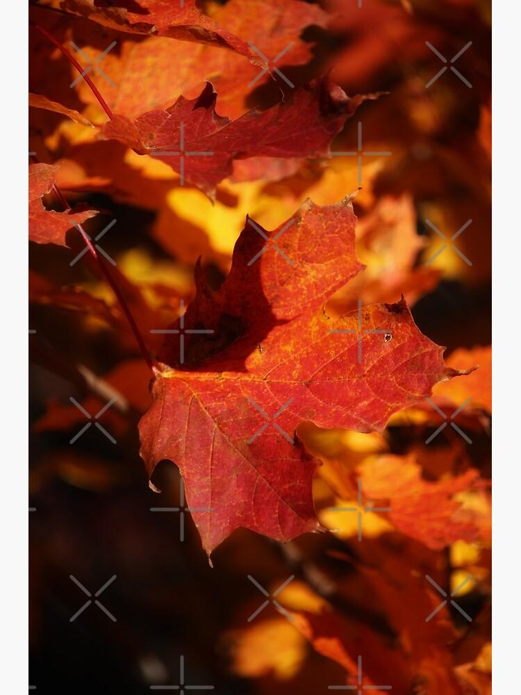 Autumn Maple by debfaraday