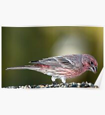 Common House Finch at Feeder Poster