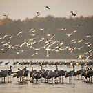 Common Cranes at sunrise by Dominika Aniola