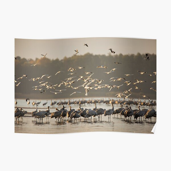 Common Cranes at sunrise Poster