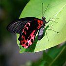 Papiliondae by Pamela Hubbard