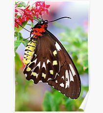 Papilionidae Poster