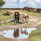 Exmoor  Ponies by ten2eight