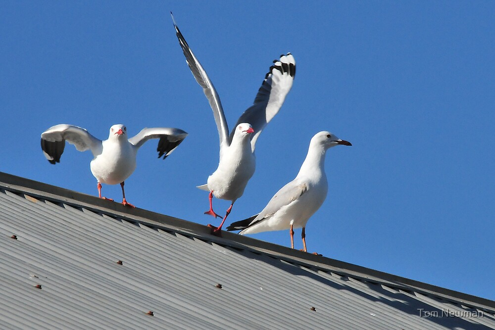 Seagulls at Hastings by Tom Newman