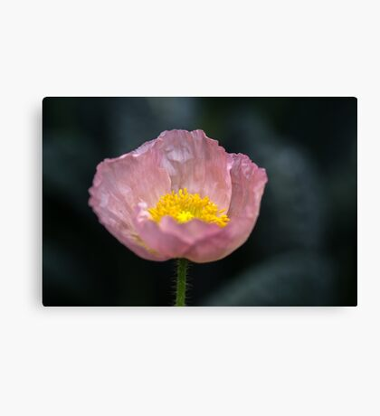 She said her name was Patricia but I call her Poppy Canvas Print