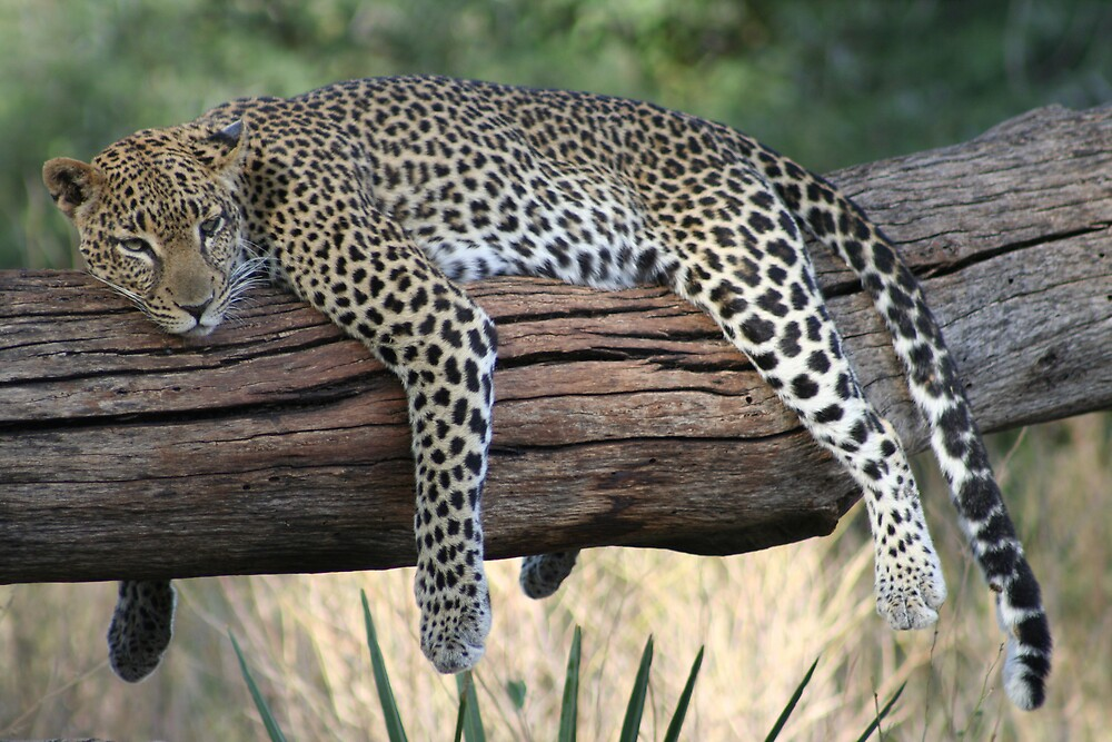 Lazy Leopard by CandA