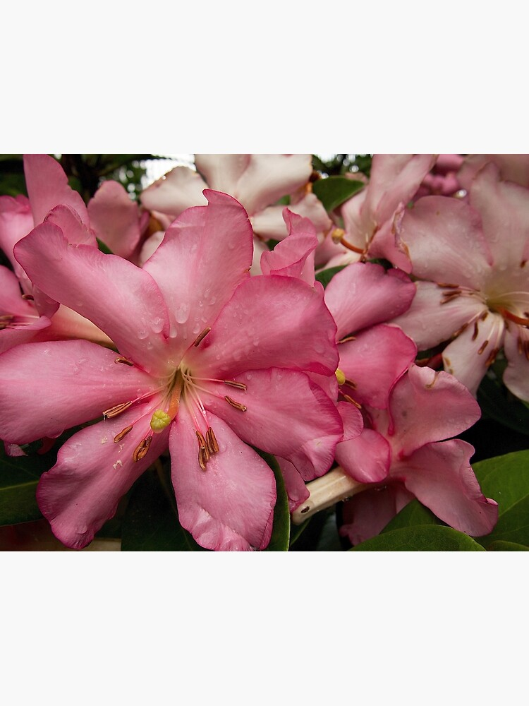 Pink Rhododendron from A Gardener's Notebook by douglasewelch