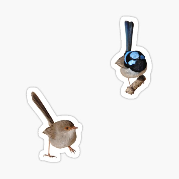 Superb Fairy-wrens male and female 2 Sticker
