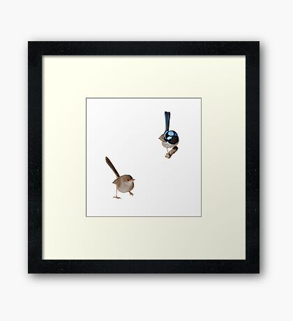 Superb Fairy-wrens male and female 2 Framed Print