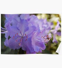 Purple Rhododendron Poster