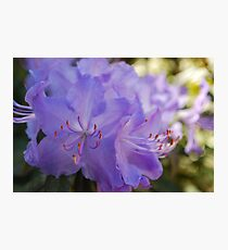 Purple Rhododendron Photographic Print