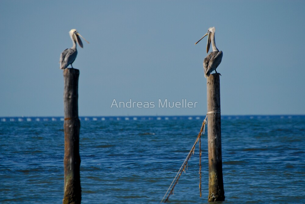 Pelican Chat by Andreas Mueller