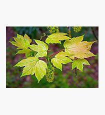 Glorious Maple leaf Photographic Print