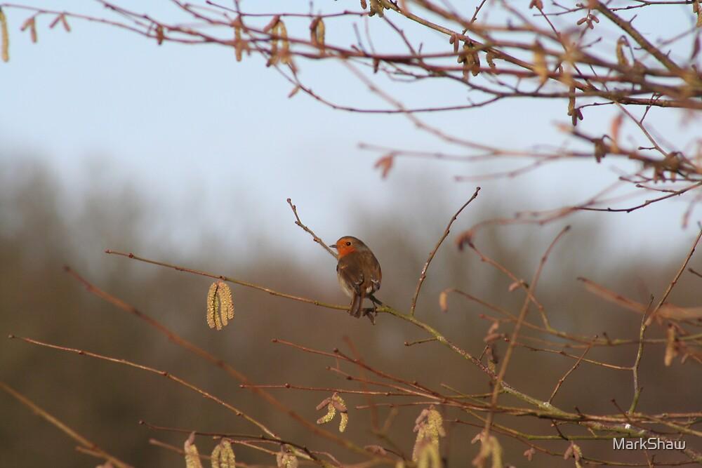 Robin by MarkShaw