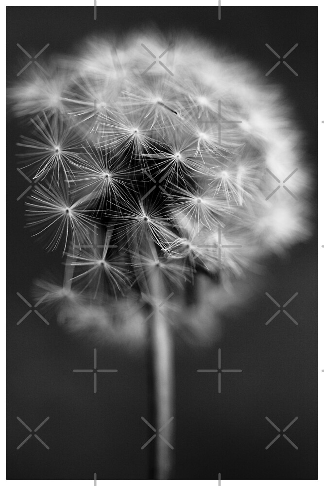 Delicate by CKImagery