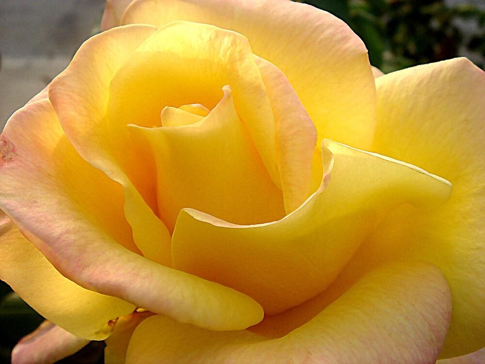 Yellow Rose by Liz Wear