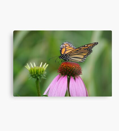 softly landing on an echinacea flower Metal Print