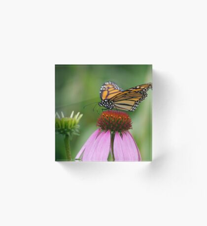 softly landing on an echinacea flower Acrylic Block