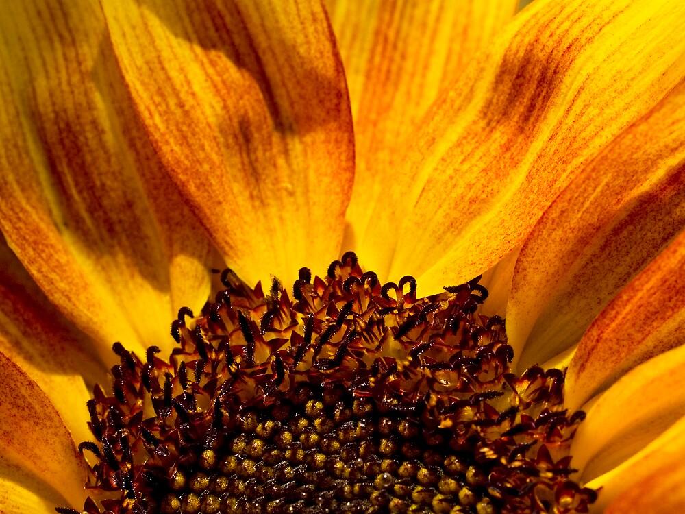 Sunflower by David Platt-Chance