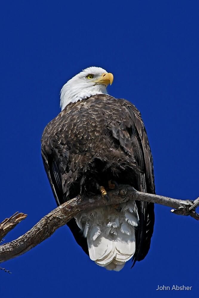 Bald Eagle by John Absher