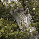 Banksia Tree and Old Snow Gum by Caro