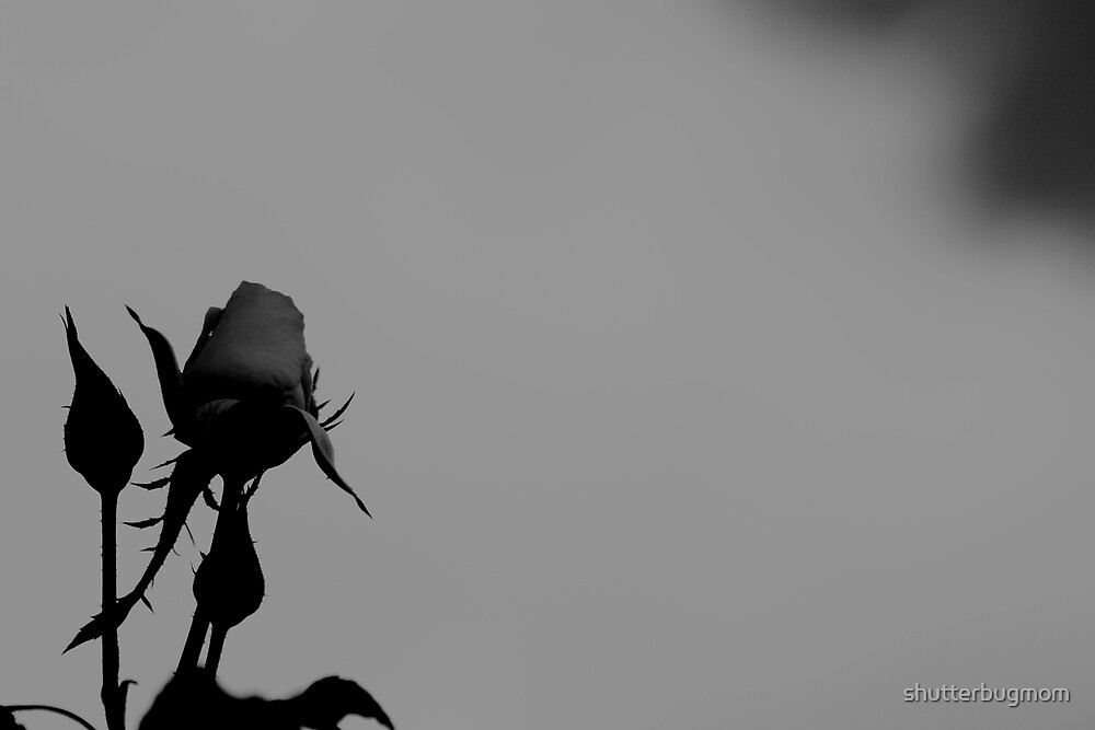 My  Rose by shutterbugmom