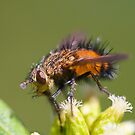 Tachinid Fly by Jonah Gautier