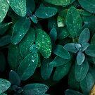 Salvia by BrandnerGraphic